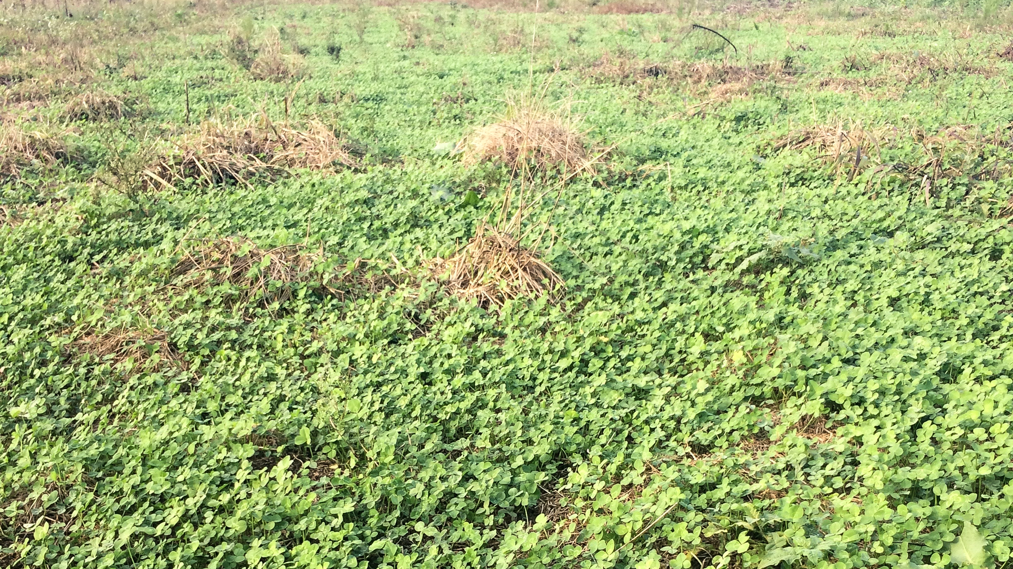 clover maintenance clethodim